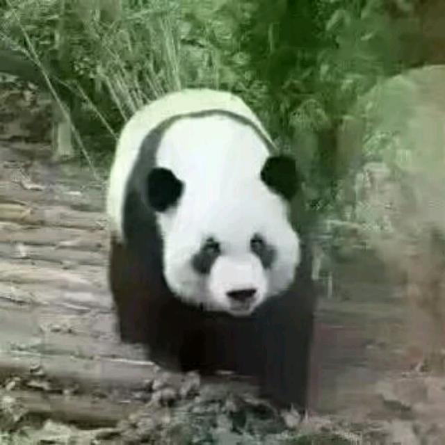 熊猫环岛老照片